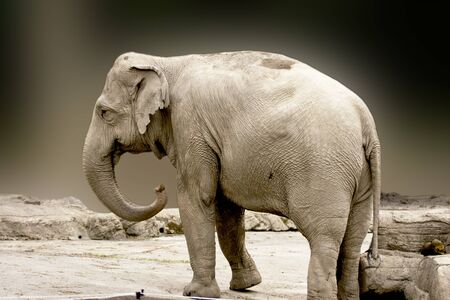 Asian elephant Curls up the nose