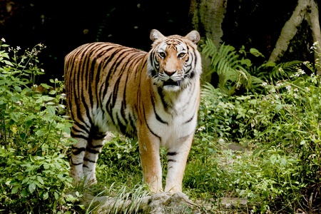 Bengal tiger watching in forest photo