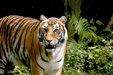 tigris: Bengal tiger search the food in forest