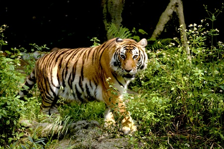 Bengal tiger looking around in forest Stockfoto
