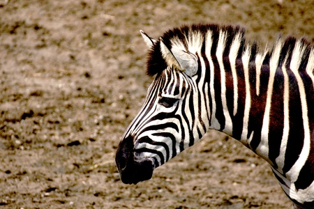 a zebra head in the zoo photo
