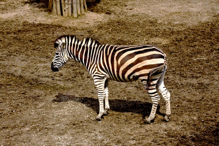 a zebra stand on grass in zoo photo