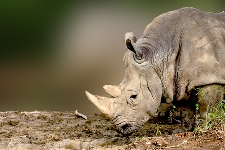 a White Rhinoceros eatting food