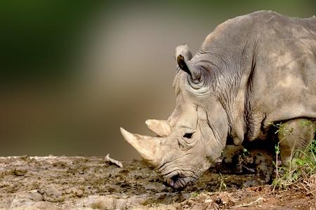 a White Rhinoceros eatting food