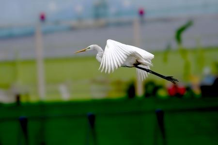 intermediate: Intermediate Egret flying int the sky