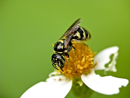 a bee attracts the nectar on a white flower photo