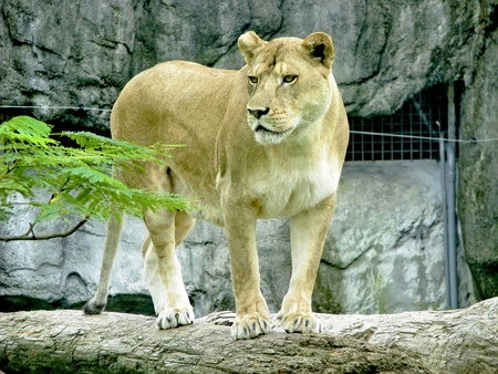 female lion stand on branch photo