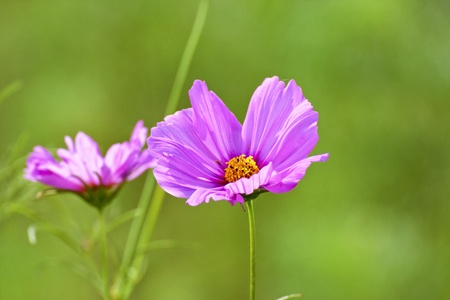 Cosmos bipinnatus cloroful flowers bloom in spring photo