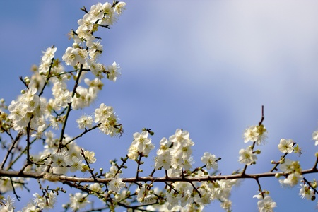 a group plum blossoms bloom in winter in taiwan photo