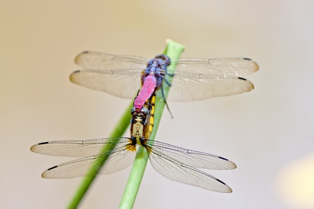 macro two dragonfly mating on branch photo