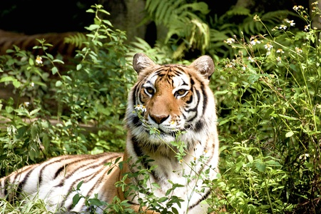 Bengal tiger rest in forest photo