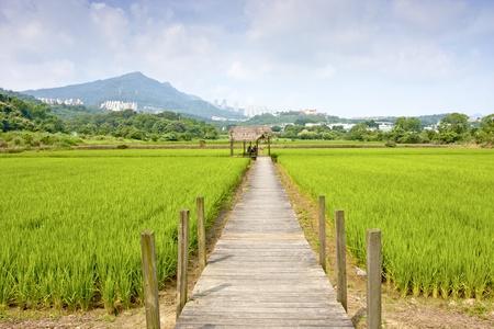 rice farm spread in summer 스톡 콘텐츠