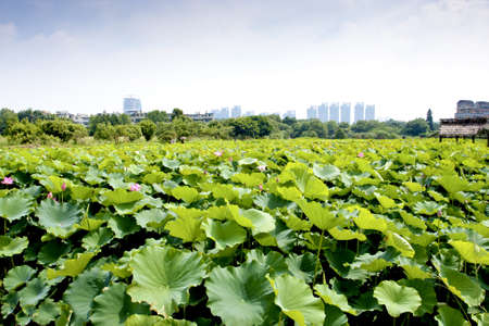 lotus farm spread in summer Stock Photo - 9751141