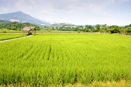 rice farm spread in summer Stock Photo - 9751167