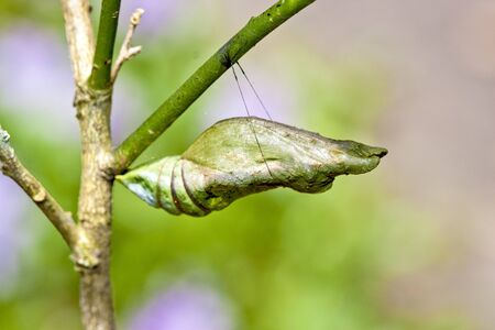 Butterfly chrysalis hanging on branch