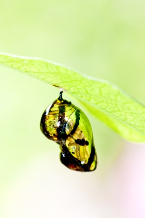 emerging: Butterfly chrysalis hanging on branch