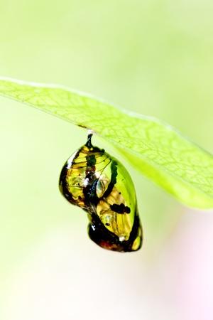 capullo: Cris�lida de mariposa colgando de la rama