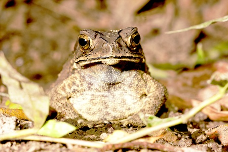 a toad rest on ground at night in summer photo