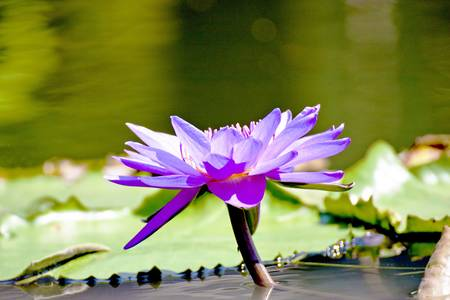 lotus with leaf bloom in summer Stock Photo - 9751220