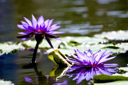 lotus with leaf and reflected image bloom in summer photo