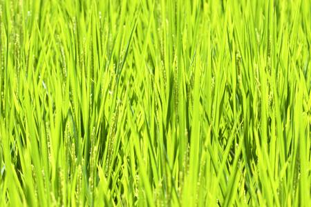 many rice spread in summer Stock Photo - 9751200