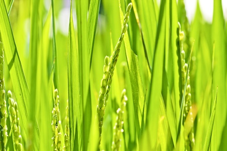 many rice spread in summer Stock Photo - 9751195