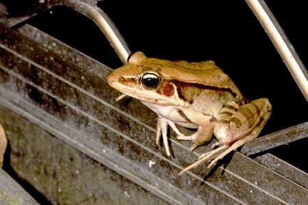 a frog stay on iron net at night Stock Photo - 9832211