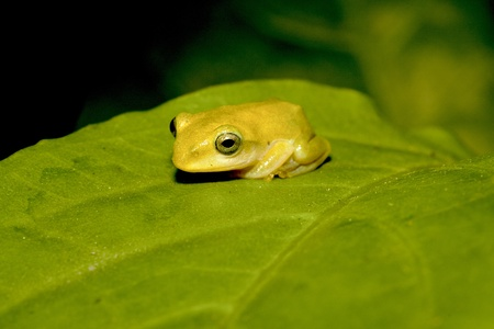 green tree frog: a Taipei Green Tree Frog stay on leaf at night Stock Photo