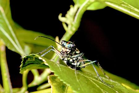 tiger beetle: a tiger beetle Cosmodela batesi  stay on leaf at night