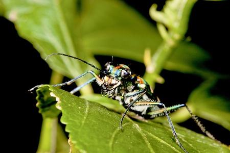tiger beetle: un Cicindelinae Cosmodela batesi rimanere su foglia di notte Archivio Fotografico