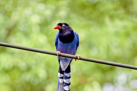 Formosan Blue Magpie a bird stand onelectric wire