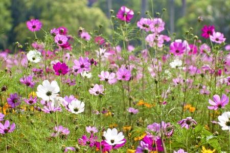 Cosmos bipinnatus cloroful flowers garden in spring Stock Photo - 9959686