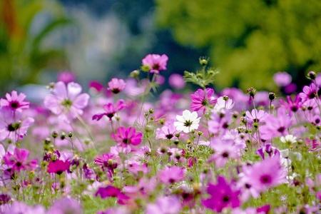 Cosmos bipinnatus cloroful flowers garden in spring Фото со стока