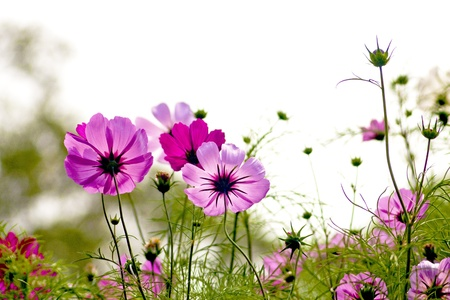 Cosmos bipinnatus cloroful flowers garden in spring Stock Photo