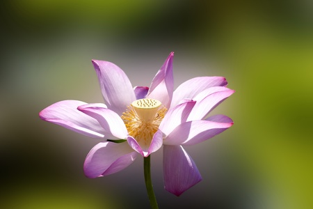 bloom lotus with seed and leaf under sunshine in summer Stock Photo - 10191578