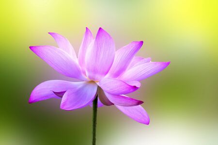 bloom lotus with seed and leaf under sunshine in summer Stock Photo - 10191648