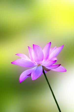 bloom lotus with seed and leaf under sunshine in summer Stock Photo - 10191579