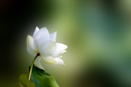 lotus blossom: bloom lotus with seed and leaf under sunshine in summer Stock Photo