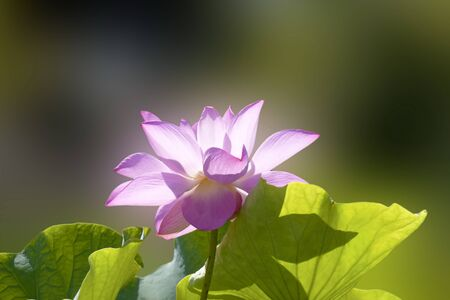 bloom lotus with seed and leaf under sunshine in summer Stock Photo - 10191646