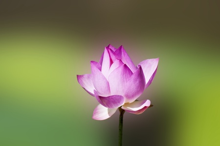 bloom lotus with seed and leaf under sunshine in summer Stock Photo - 10197841