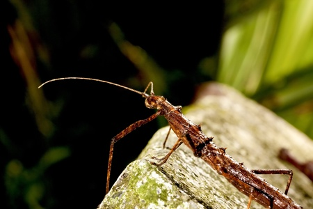 crawly: Japanese thorn stick insect stay on ground at night