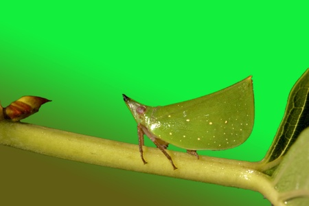 noise isolation: Green wooden scoop wax cicada stay on plant Stock Photo