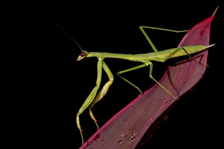 cannibal: a praying mantis stay on plant at night