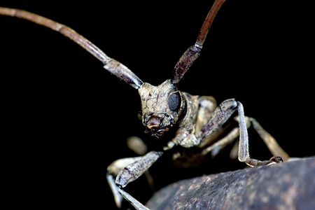 longhorned: portrait of a long-horned beetle in a detail