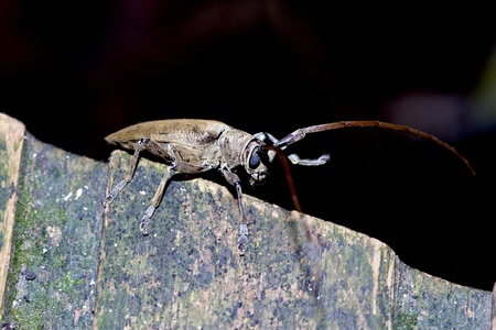 longhorned: a long-horned beetle stay on wood in summer Stock Photo