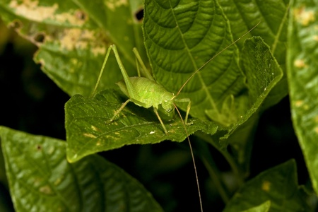 longhorned: a long-horned grasshopper stay on leaf at night Stock Photo