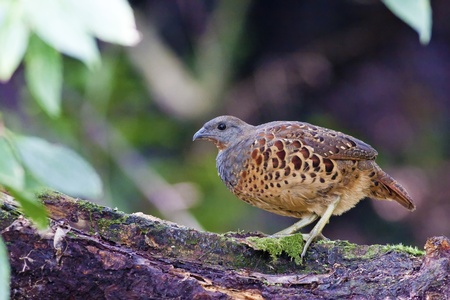 Chinese Bamboo Partridge a bird in forest Stock Photo - 10557311