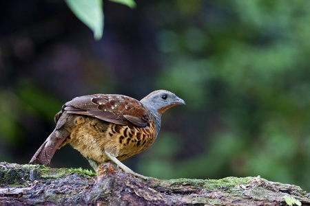 Chinese Bamboo Partridge a bird in forest photo