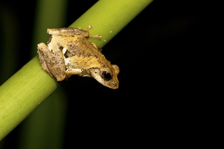 treefrog: cute and colorful Meintein Tree Frog peeking over a leaf in forest Stock Photo