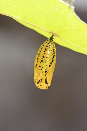 chrysalis of butterfly  hanging on leaf in summer photo
